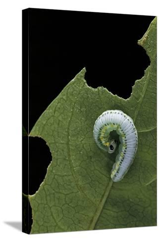 Greta Oto (Glasswinged Butterfly) - Caterpillar-Paul Starosta-Stretched Canvas Print