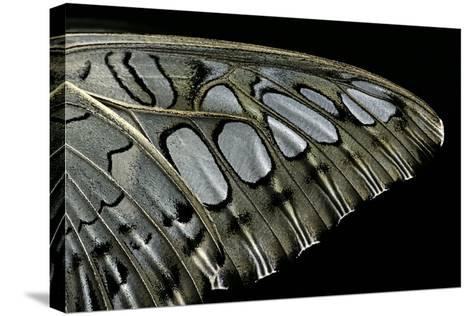 Parthenos Sylvia (Clipper Butterfly) - Wings Detail-Paul Starosta-Stretched Canvas Print