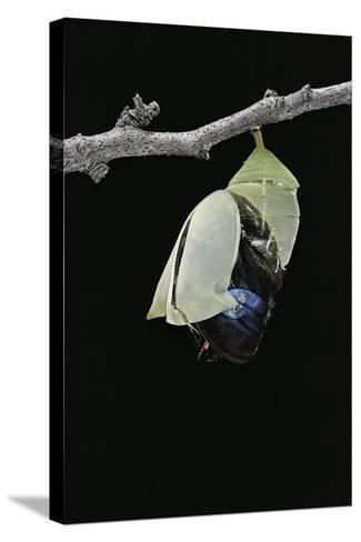 Morpho Peleides (Blue Morpho) - Emerging from Pupa-Paul Starosta-Stretched Canvas Print