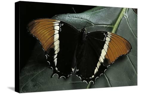 Siproeta Epaphus (Rusty-Tipped Page, Brown Siproeta) - Female-Paul Starosta-Stretched Canvas Print