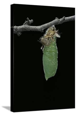 Morpho Peleides (Blue Morpho) - Caterpillar Pupating-Paul Starosta-Stretched Canvas Print