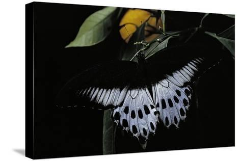 Papilio Polymnestor (Blue Mormon) - Male-Paul Starosta-Stretched Canvas Print