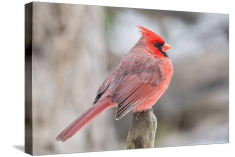 Nothern Cardinal-Gary Carter-Stretched Canvas Print