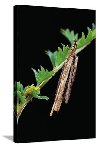 Bagworm Moth, Case Moth - Caterpillar Extending its Head and Thorax from the Case-Paul Starosta-Stretched Canvas Print