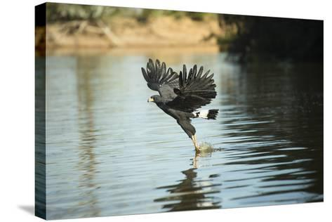 Great Black Hawk-Joe McDonald-Stretched Canvas Print