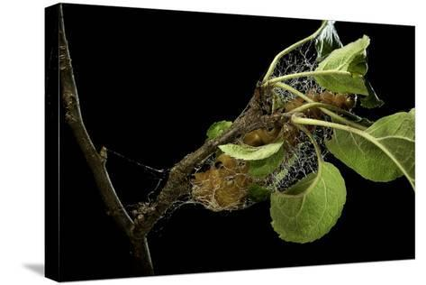Saturnia Pyri (Giant Peacock Moth, Great Peacock Moth, Large Emperor Moth) - Caterpillar Spinning C-Paul Starosta-Stretched Canvas Print
