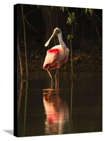 Roseate Spoonbill-Joe McDonald-Stretched Canvas Print