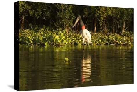 Jabiru Stork-Joe McDonald-Stretched Canvas Print