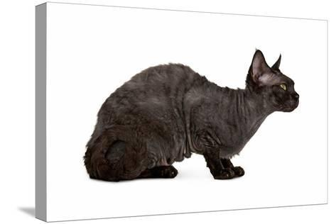 Devon Rex Cat-Fabio Petroni-Stretched Canvas Print