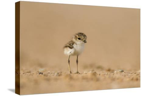 Collared Plover-Joe McDonald-Stretched Canvas Print