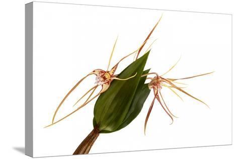 Dendrobium Tetragonum-Fabio Petroni-Stretched Canvas Print