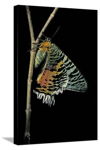 Chrysiridia Croesus (East African Sunset Moth)-Paul Starosta-Stretched Canvas Print