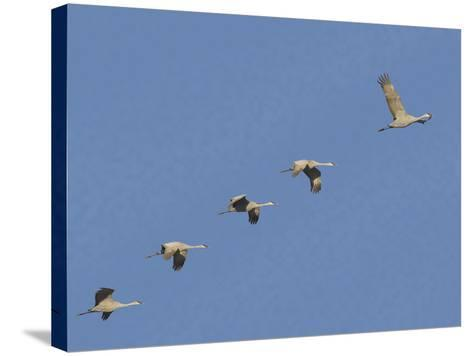 Sandhill Cranes Flying in Formation-DLILLC-Stretched Canvas Print