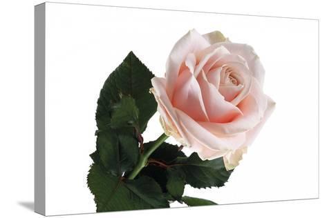 Roses-Fabio Petroni-Stretched Canvas Print