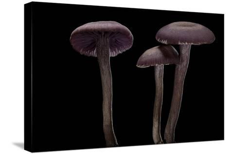 Laccaria Amethystina (Amethyst Deceiver)-Paul Starosta-Stretched Canvas Print