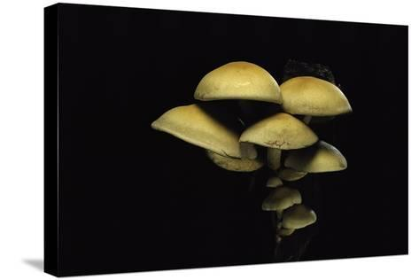 Hypholoma Fasciculare (Sulphur Tuft, Clustered Woodlover)-Paul Starosta-Stretched Canvas Print