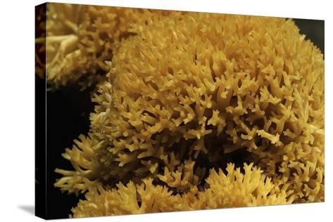 Ramaria Flavescens (Coral Fungus)-Paul Starosta-Stretched Canvas Print