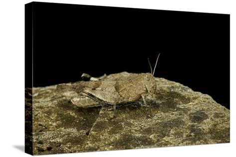 Oedipoda Caerulescens (Blue-Winged Grasshopper)-Paul Starosta-Stretched Canvas Print