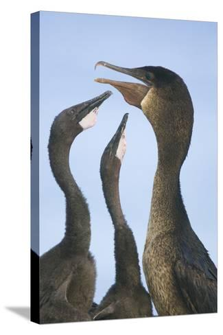Cormorant Feeding Young-DLILLC-Stretched Canvas Print