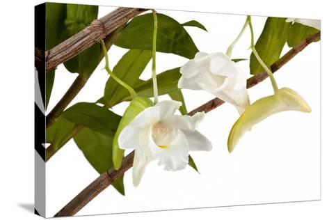 Dendrobium Arcuatum-Fabio Petroni-Stretched Canvas Print