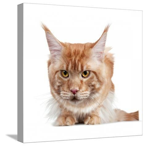 Maine Coon Cat-Fabio Petroni-Stretched Canvas Print