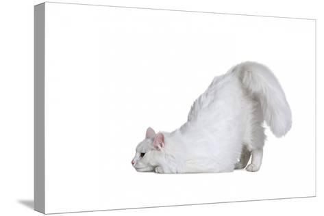 Turkish Angora Cat-Fabio Petroni-Stretched Canvas Print