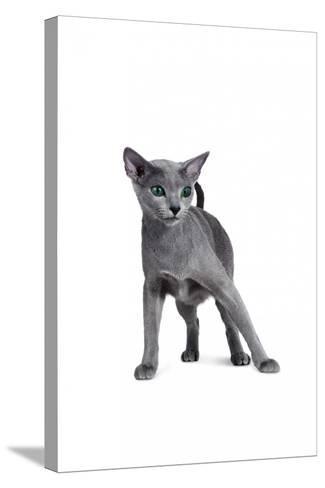 Blue Russia Cat-Fabio Petroni-Stretched Canvas Print