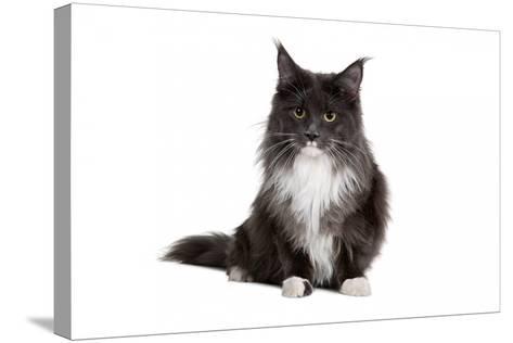 Maine Coon Cat-Fabio Petroni-Stretched Canvas Print