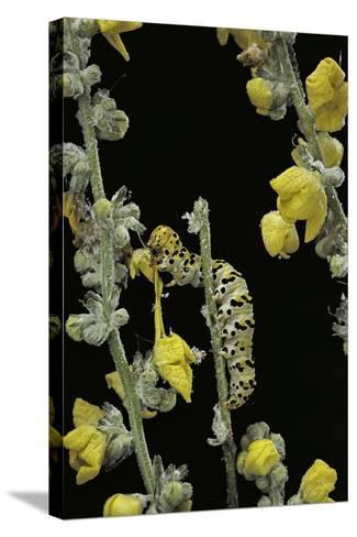 Cucullia Verbasci (Mullein Moth) - Caterpillar Feeding on Mullein-Paul Starosta-Stretched Canvas Print