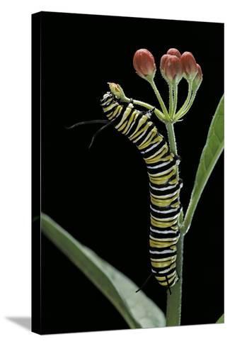 Danaus Plexippus (Monarch Butterfly) - Caterpillar Feeding on Milkweed Flower-Paul Starosta-Stretched Canvas Print