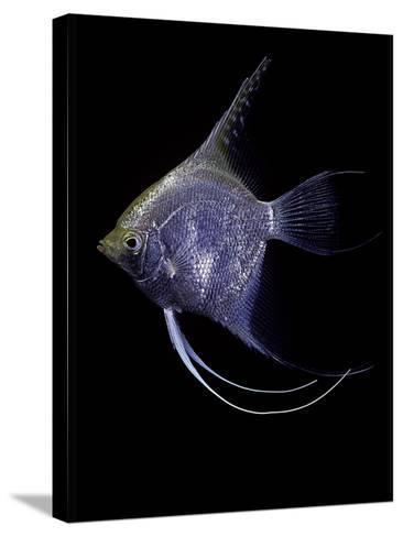 Pterophyllum Scalare (Angelfish, Freshwater Angelfish)-Paul Starosta-Stretched Canvas Print