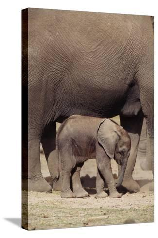 Elephant Baby by Mother-DLILLC-Stretched Canvas Print