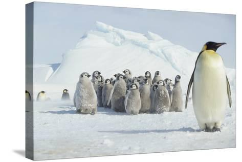 Group of Emperor Penguin Chicks-DLILLC-Stretched Canvas Print
