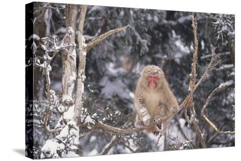 Japanese Macaque Perched on Tree-DLILLC-Stretched Canvas Print
