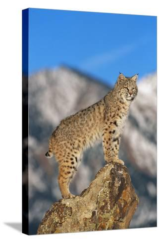 Bobcat Standing on Boulder-DLILLC-Stretched Canvas Print