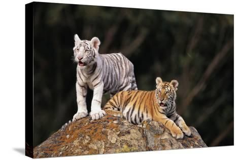 White Tiger and Orange Tiger on Rock-DLILLC-Stretched Canvas Print