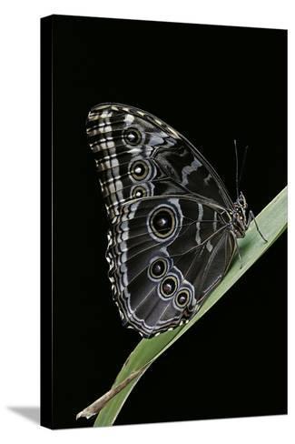 Morpho Peleides (Blue Morpho)-Paul Starosta-Stretched Canvas Print