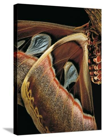 Attacus Atlas (Atlas Moth) - Wings Detail-Paul Starosta-Stretched Canvas Print