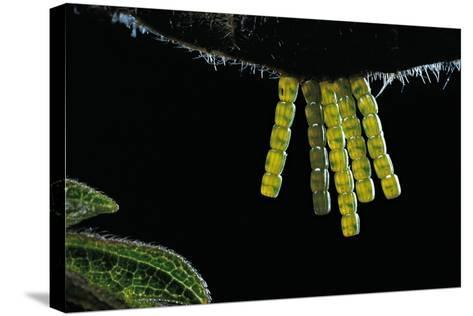 Araschnia Levana (Map Butterfly) - Eggs, One on Top of the Other, under Stinging Nettle Leaf-Paul Starosta-Stretched Canvas Print