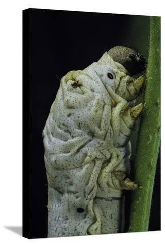 Bombyx Mori (Common Silkmoth) - Larva or Silkworm Detail-Paul Starosta-Stretched Canvas Print