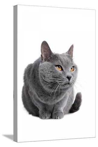 Chartreux Cat-Fabio Petroni-Stretched Canvas Print