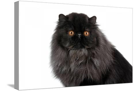 Persian Cat-Fabio Petroni-Stretched Canvas Print