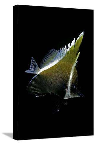 Heniochus Varius (Humphead Bannerfish, Horned Bannerfish)-Paul Starosta-Stretched Canvas Print