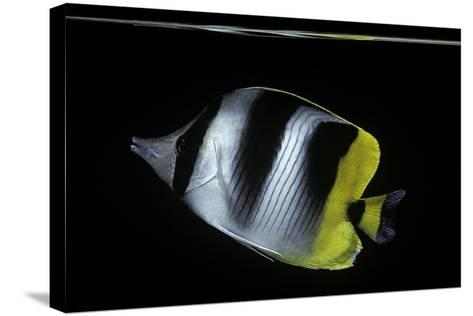 Chaetodon Ulietensis (Pacific Double-Saddle Butterflyfish)-Paul Starosta-Stretched Canvas Print