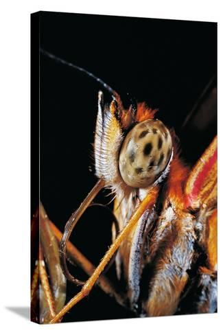 Dryas Julia (Julia Butterfly, the Flame) - Portrait-Paul Starosta-Stretched Canvas Print