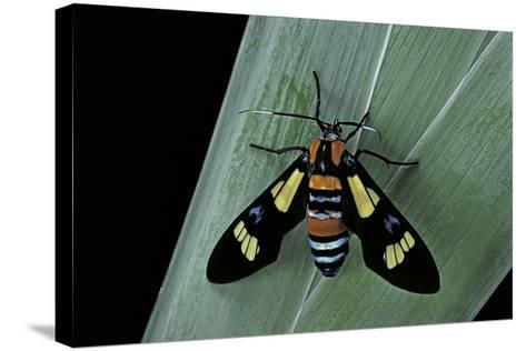 Euchromia Folletii (South African Day-Flying Moth)-Paul Starosta-Stretched Canvas Print