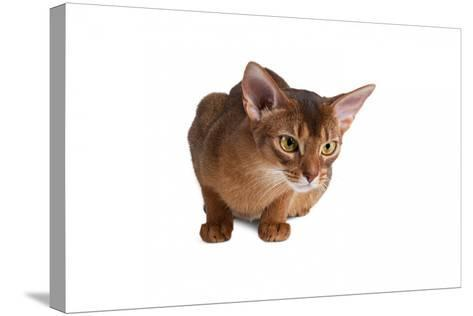 Abyssinian Cat-Fabio Petroni-Stretched Canvas Print