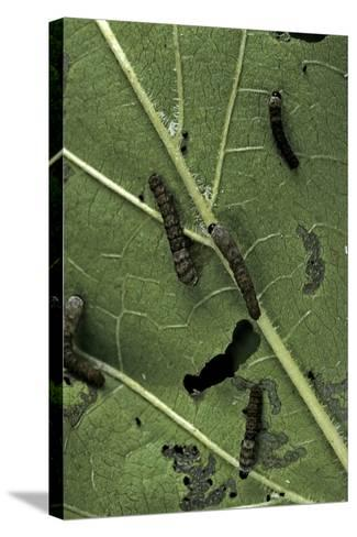 Bombyx Mori (Common Silkmoth) - Young Larvae or Silkworms Feeding on Mulberry Leaf-Paul Starosta-Stretched Canvas Print