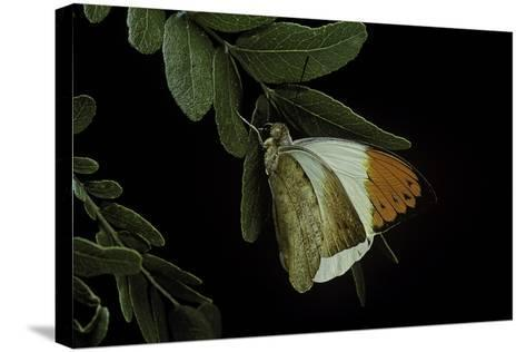 Hebomoia Glaucippe (Great Orange Tip)-Paul Starosta-Stretched Canvas Print