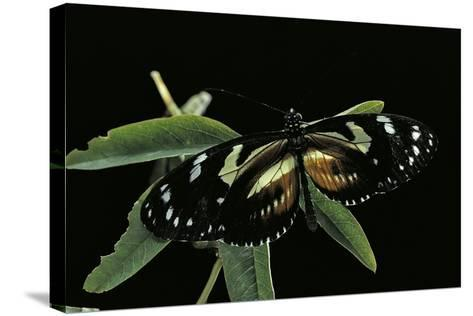 3/4 Heliconius Atthis X 1/4 Heliconius Hecale (Longwing Butterfly)-Paul Starosta-Stretched Canvas Print